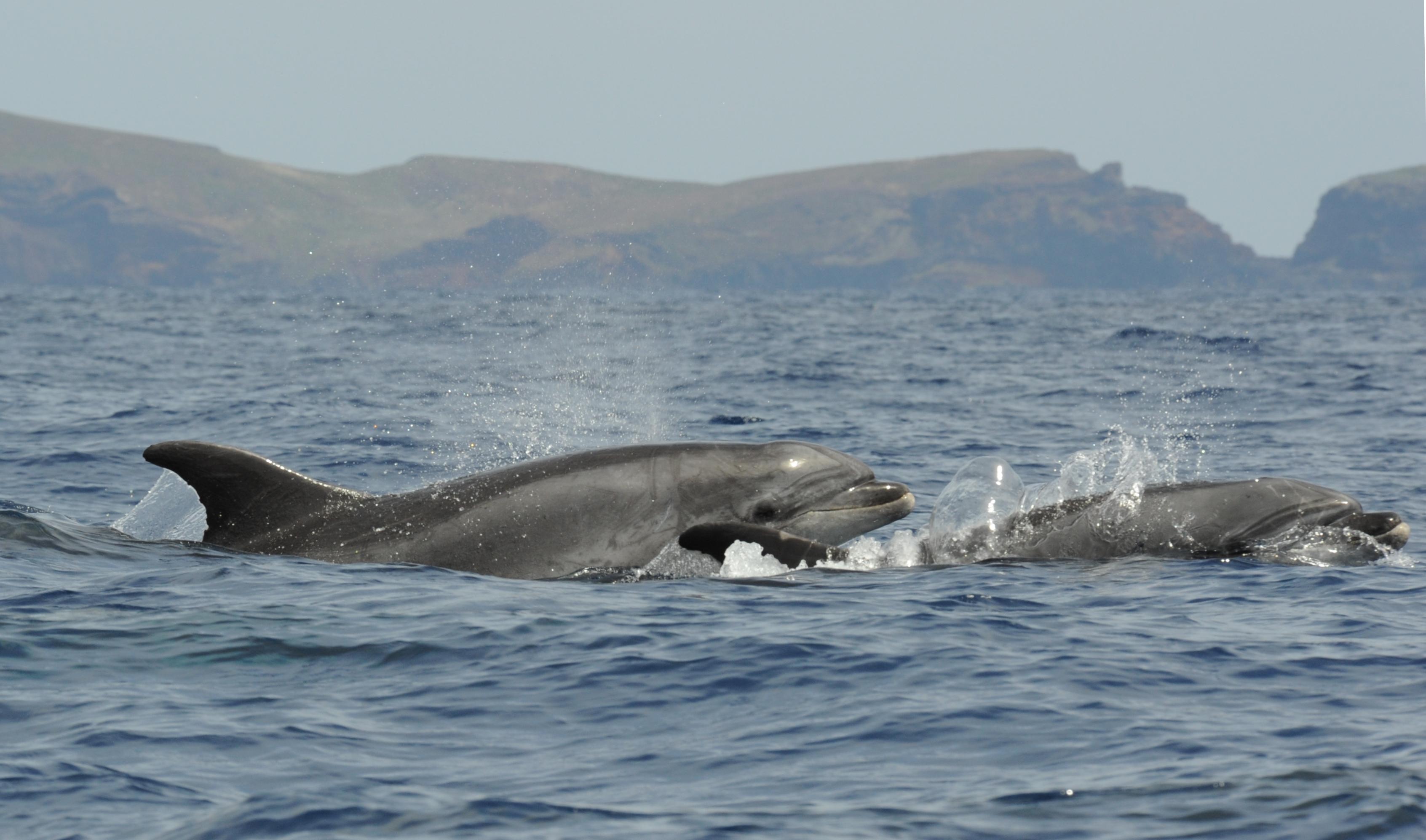 Bottlenose dolphin in Madeira ECS2016