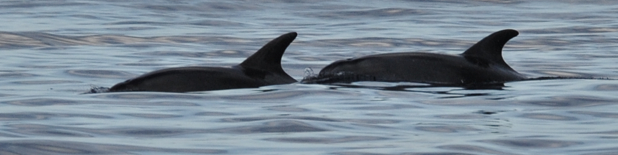 Bottlenose Dolphins in Maltese Waters - BICREF